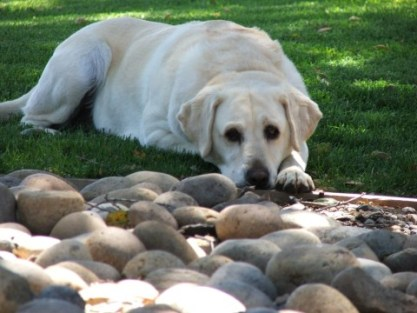 собака ест камни