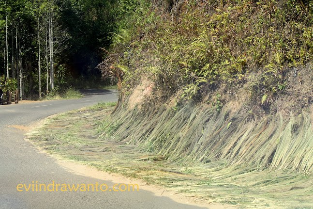 rumput gelagah di tepi jalan
