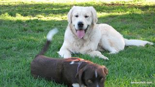 1160Jake at the Doggy Park, Mawson Lakes