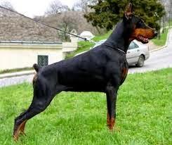 Зачем купировать хвост и уши собакам?