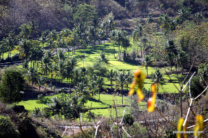 Sawah dilihat dari atas bukit