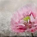 Emerging Poppy_Bhimji.jpg