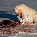 1st - Polar Bear Banquet_Andy Barnes.jpg