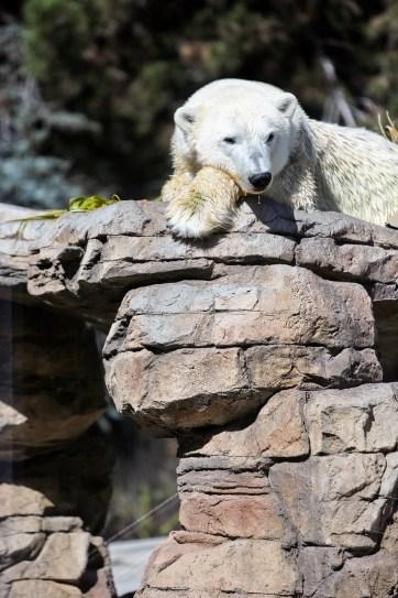 Polar Bear San Diego Zoo Animals.