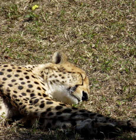 Cheetah at Emdoneni Cat Rehabilitation Center