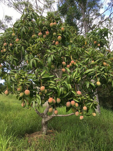 20180101-mango-tree-2018-01-15-08-55.jpg