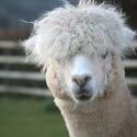 Alpaca_Barry Saunders.jpg