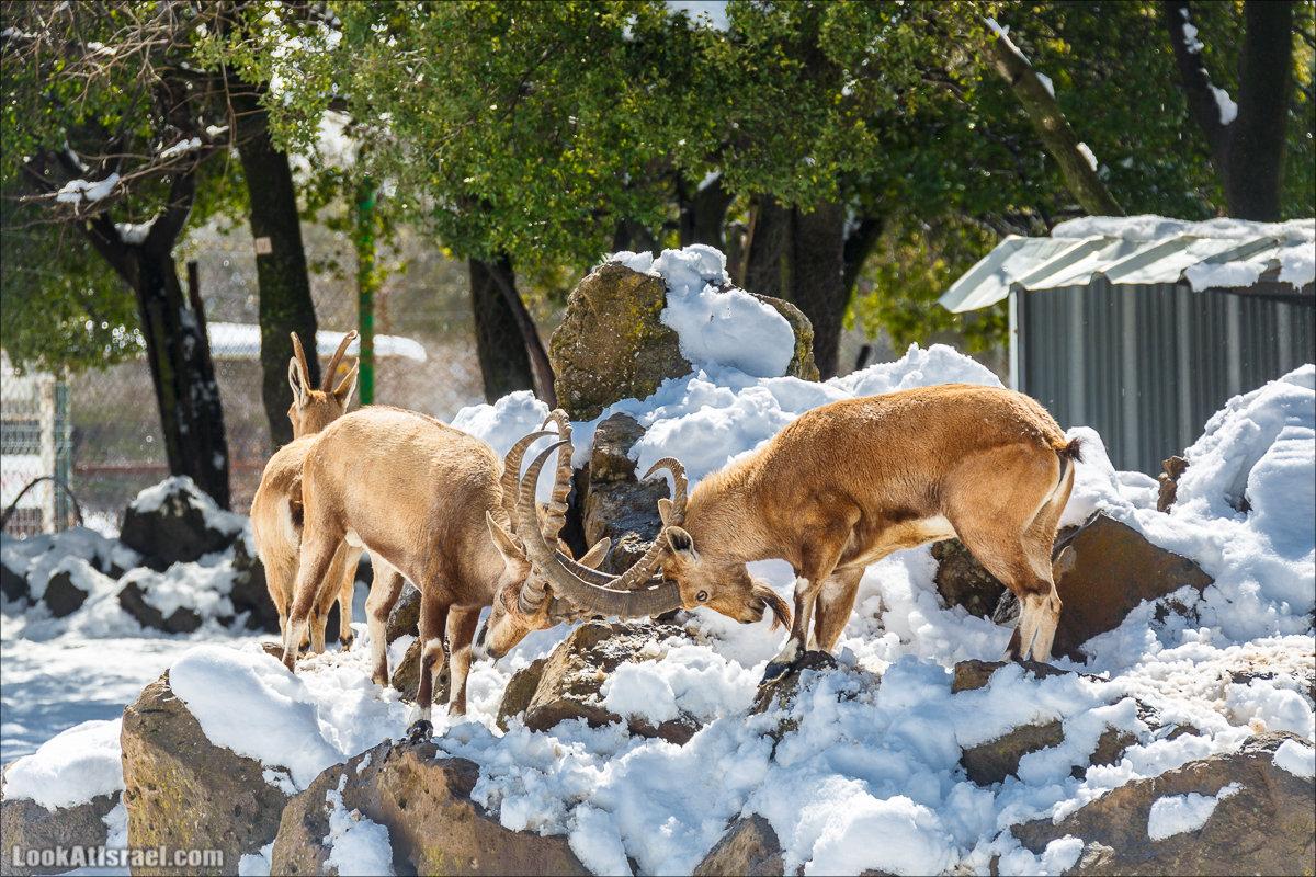 Лес оленей в Одем | Deers forest in Odem | יער יעלים במושב אודם | LookAtIsrael.com - Фото путешествия по Израилю