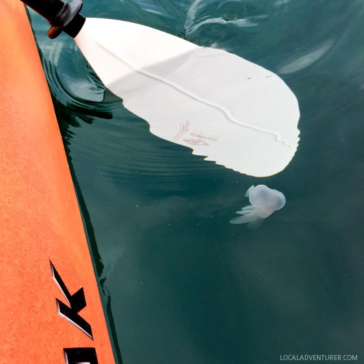 Melibe Sea Slug on a Monterey Bay Kayak Tour.