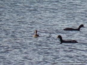 Pato canadiense y fochas
