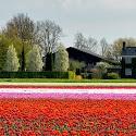 Intermediate 2nd - Tulips In Amsterdam_Rod Eva.jpg