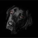 Commended - Labradorable_Lloyd Moore.jpg