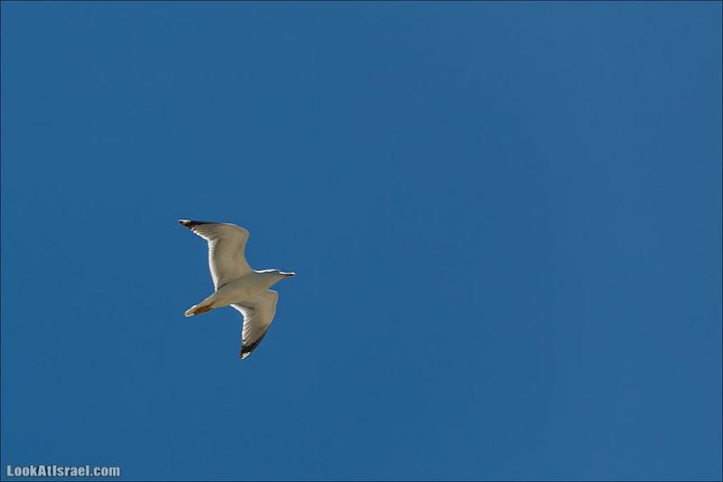 Gull. Seagull.