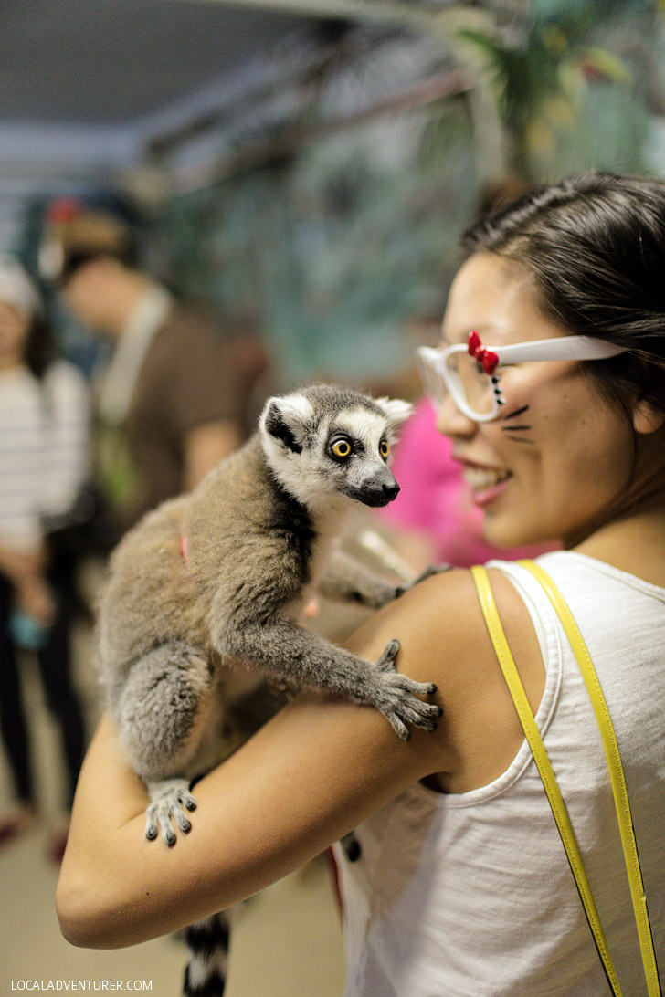 Ring Tail Lemur.