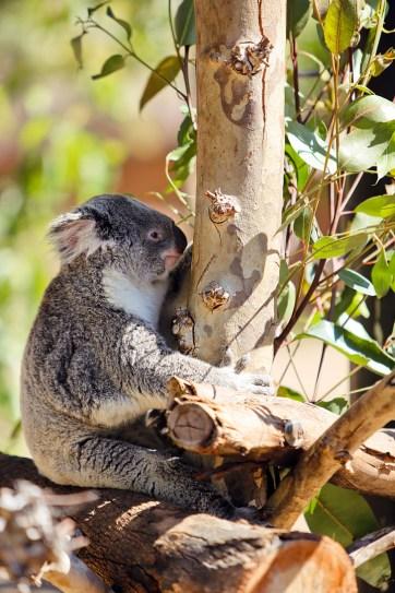 Koala San Diego Zoo California.