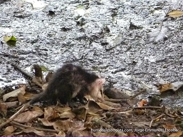 Zarigüeya en el humedal La Conejera