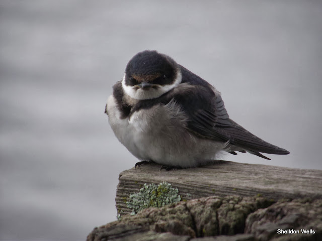 whitethroated swallow at tala game reserve outside durban south africa