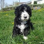 gordo-blosom pup en suecia Mayo 08.jpg