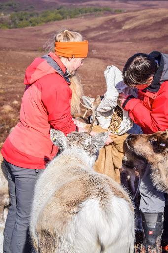 feeding reindeer food