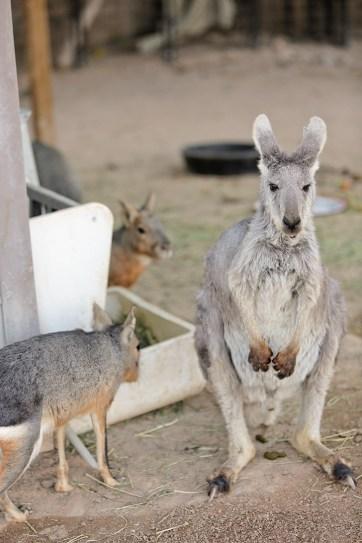 Grey Kangaroo at Roos and More Zoo near Las Vegas.