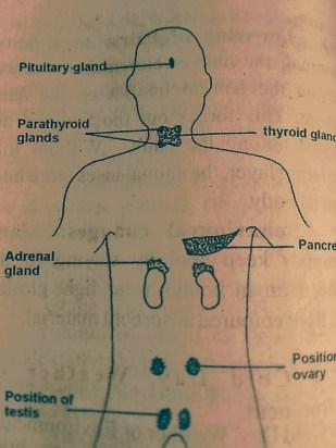 pancreatic gland position