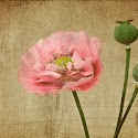 Advanced 2nd - Poppy And Pods_ Jeff Bhimji.jpg