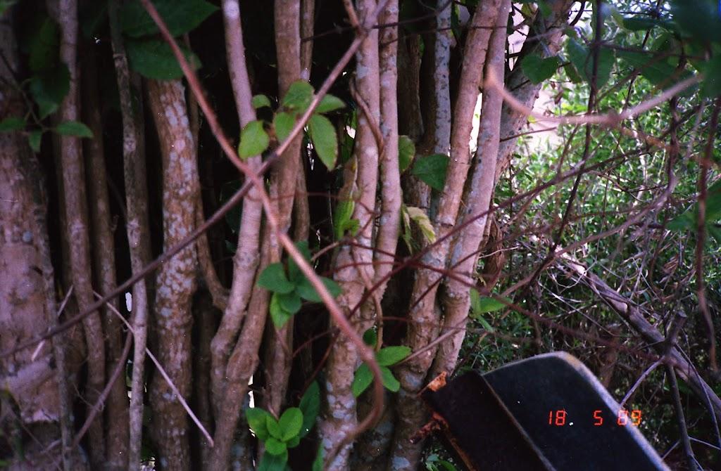 0610Baboa Trees