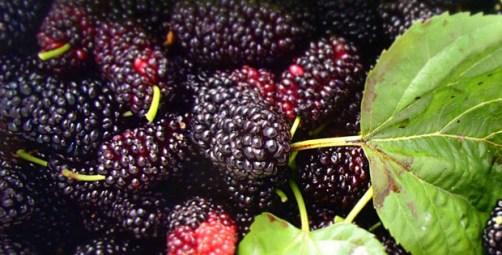 Khasiat dan Manfaat buah Mulberry