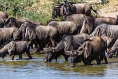 ...and thirst buffaloes...