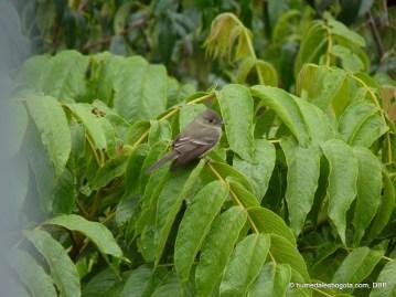 Pibí oriental (Contopus virens)