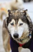 Iditarod2015_0131.JPG