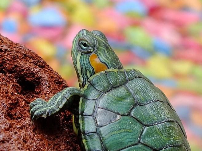 mascota-regalo-niño-cumpleaños-animal-tortuga