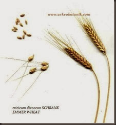 EMMER_WHEAT_SEEDS