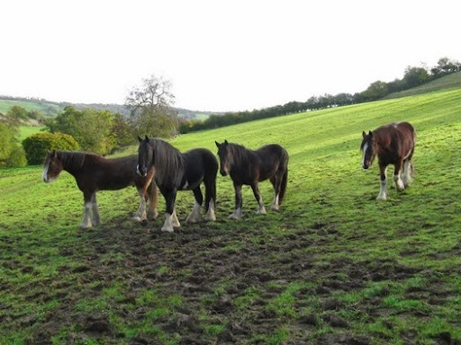 Shire Horses in Somerset