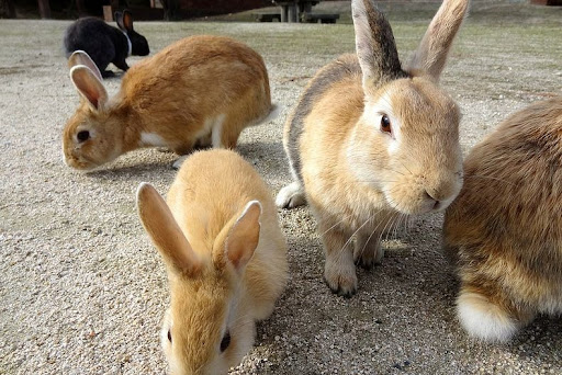 Resultado de imagem para bunny island okunoshima