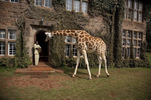 giraffa-maniero-12