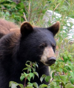 shiny black bear with a brown nose