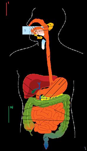 Bagian-Bagian-Sistem-Pencernaan-Pada[1]