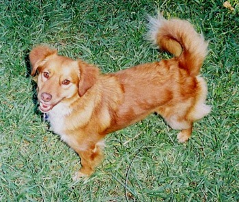golden-dog2