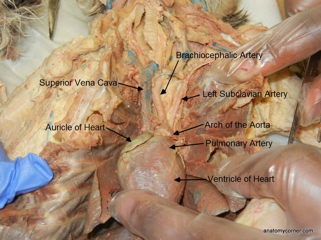 Auricle Of Heart L
