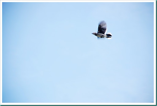 Blurry Blue Jay