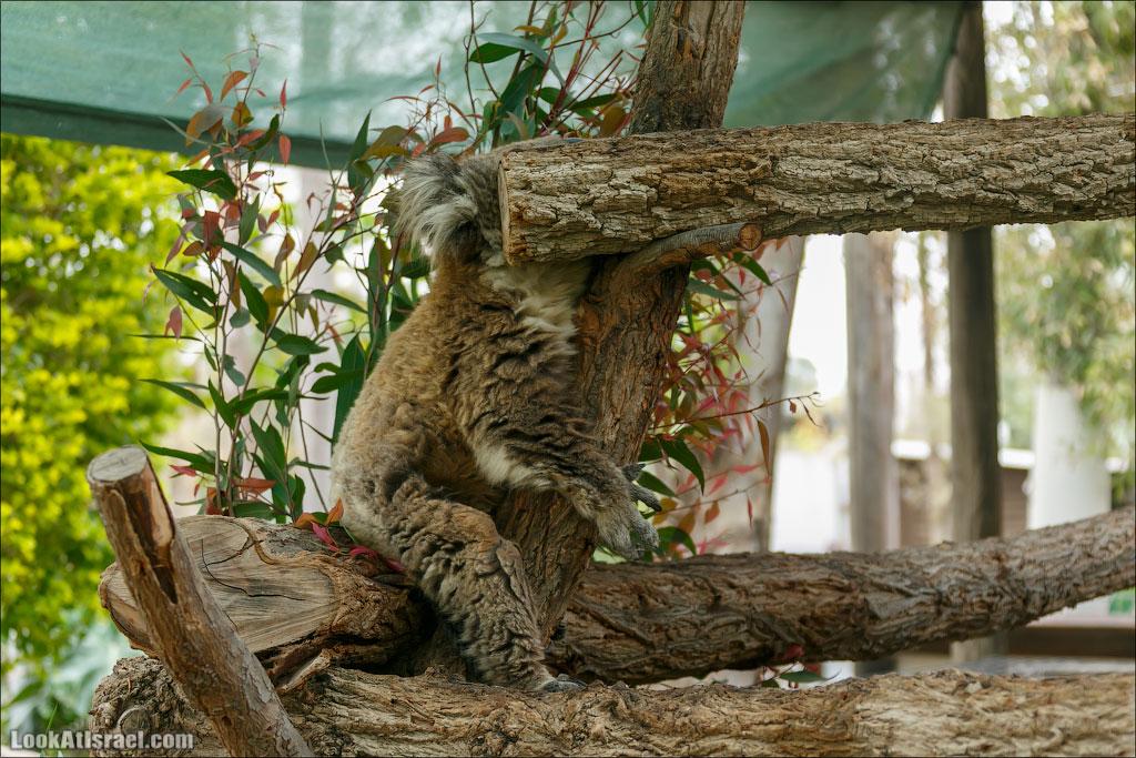 Ган Гуру - парк с кенгуру и другими австралийскими животными | Gan Guru | גן גורו | LookAtIsrael.com - Фото путешествия по Израилю