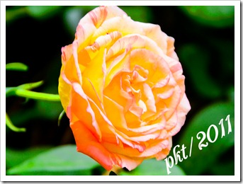 DSC_3306orange-rose
