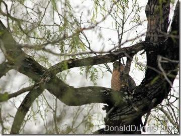 Cooper's Hawk (Accipiter cooperii), Bentsen RGV State Park, Mission, TX