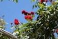 ちょっとだけ、咲いてました。赤いバラ
