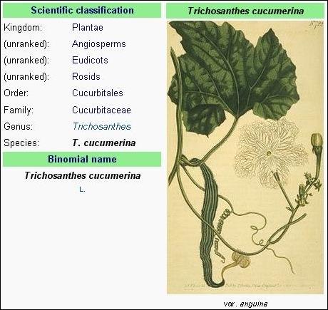 klasifikasi ilmiah pare lindung atau pare belut (Trichosanthes cucumerina var anguina)