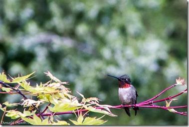 Male Ruby-throated Hummingbird, Dunnhill