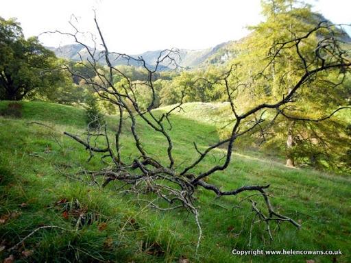 Gasmere tree
