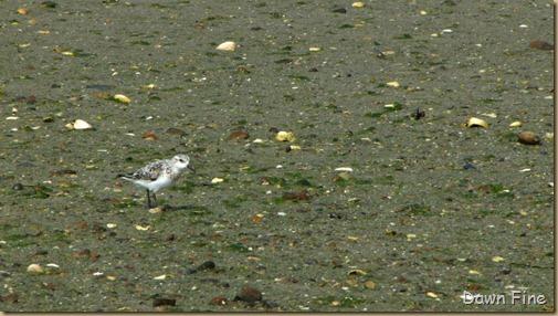 birding south beach_028