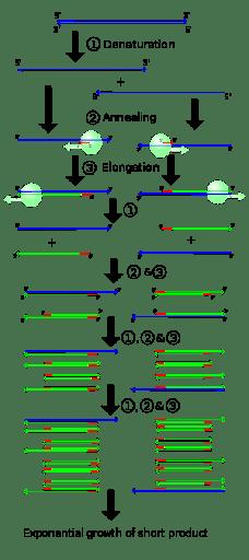 steps in PCR